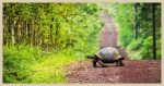 A tortoise (slowly) crossing a path.